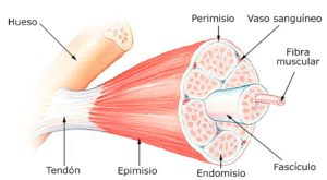 Struktura mięśni - mięśnie rosną podczas snu